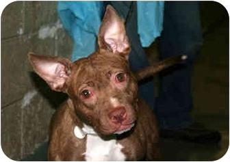 Ibizan Hound/American Staffordshire Terrier Mix Dog for adoption in New York, New York - Brindle