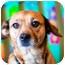 Photo 2 - Australian Cattle Dog/Dachshund Mix Dog for adoption in Houston, Texas - Sophie