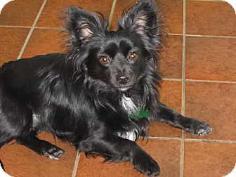 Papillon/Chihuahua Mix Dog for adoption in Salem, Oregon - Angus