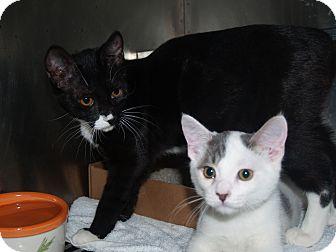 Domestic Shorthair Kitten for adoption in El Cajon, California - Macy