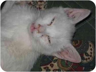 Cornish Rex Kitten for adoption in Farmington, Michigan - Monroe