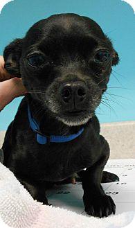 Chihuahua Dog for adoption in Brookings, South Dakota - Tonka