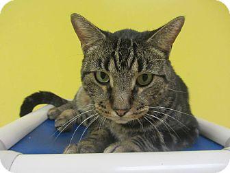 Domestic Shorthair Cat for adoption in Mobile, Alabama - Jimbo