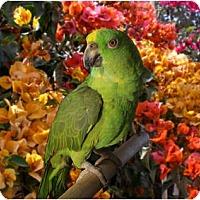 Adopt A Pet :: Sam - Fountain Valley, CA