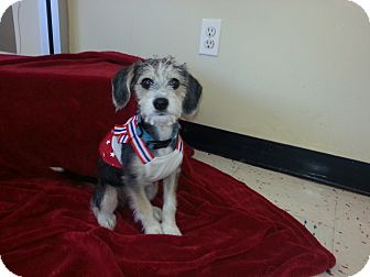Schnauzer (Miniature) Mix Puppy for adoption in Orland Park, Illinois - Sister