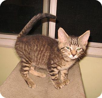 Domestic Shorthair Kitten for adoption in Colmar, Pennsylvania - Mason