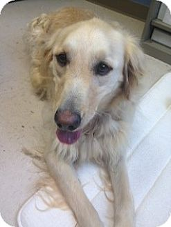 Golden Retriever Mix Dog for adoption in Knoxvillle, Tennessee - Francis