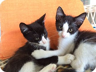 Domestic Mediumhair Kitten for adoption in METAIRIE, Louisiana - Charley