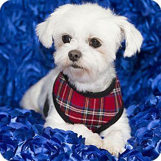 Maltese/Shih Tzu Mix Dog for adoption in Covina, California - MALLORY