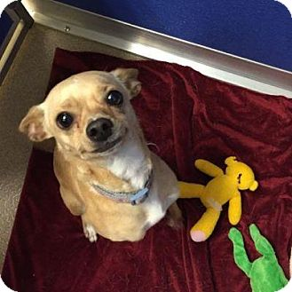 Chihuahua/Dachshund Mix Dog for adoption in Denver, Colorado - Baby