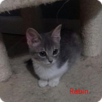 Adopt A Pet :: Rabin - McDonough, GA