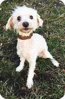 Bichon Frise Mix Dog for adoption in Boca Raton, Florida - Snowflake