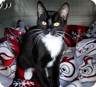 Domestic Shorthair Kitten for adoption in Newport Beach, California - RAY