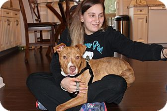 American Pit Bull Terrier/American Staffordshire Terrier Mix Puppy for adoption in Shrewsbury, New Jersey - Brinley