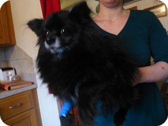 Pomeranian Mix Dog for adoption in Glastonbury, Connecticut - Dymond-pending adoption
