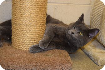 Domestic Shorthair Cat for adoption in Bucyrus, Ohio - Winky Winkerston