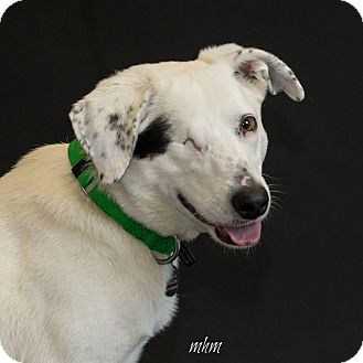Border Collie Mix Dog for adoption in Naperville, Illinois - Uno