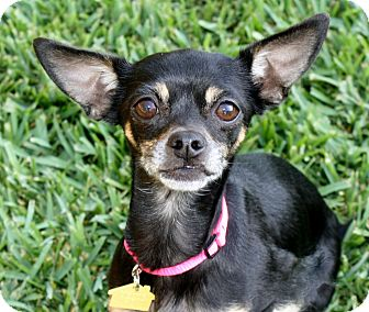 Miniature Pinscher/Chihuahua Mix Dog for adoption in Yorba Linda, California - Victoria - I'm an easy dog!