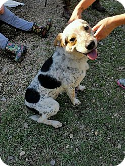 Blue Heeler Mix Dog for adoption in Hammond, Louisiana - Hachi