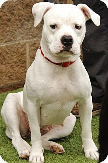 Pit Bull Terrier Mix Dog for adoption in Grass Valley, California - Juniper