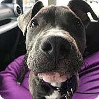 Adopt A Pet :: Belle - Villa Park, IL