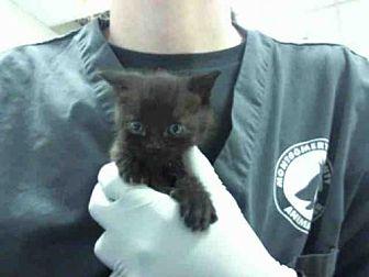 Domestic Mediumhair Kitten for adoption in Conroe, Texas - MENOS