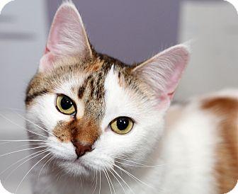 Domestic Shorthair Cat for adoption in Royal Oak, Michigan - ATHENA