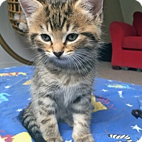 Adopt A Pet :: Shisa - Mississauga, Ontario, ON