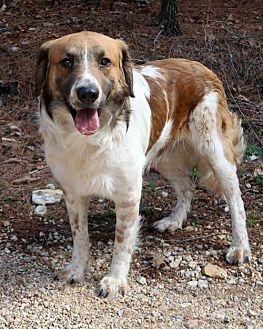 Australian Shepherd Mix Dog for adoption in Burbank, Ohio - Tanner