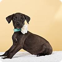Adopt A Pet :: Ani - Houston, TX