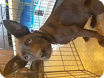 Labrador Retriever Mix Dog for adoption in Westminster, Colorado - LaTavia Roberson