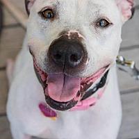 Adopt A Pet :: Jessica (white) - Whitestone, NY
