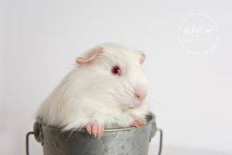 Guinea Pig for adoption in Redmond, Washington - Porky Pig (bonded with Hamton J. Pig)