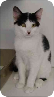 Domestic Shorthair Kitten for adoption in Clifton, New Jersey - Genie