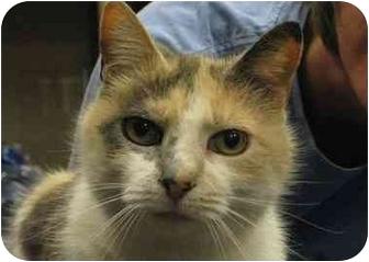 Calico Cat for adoption in Houston, Texas - Mishka