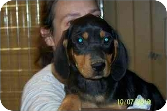 Coonhound Mix Puppy for adoption in Naugatuck, Connecticut - Bayou