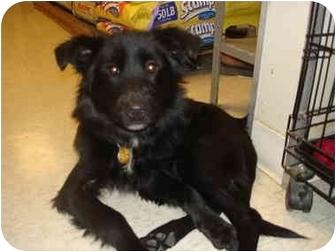 Sheltie, Shetland Sheepdog Mix Dog for adoption in Cleveland, Ohio - Magnetizin' Macie