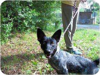 Blue Heeler Mix Dog for adoption in Foster, Rhode Island - Penny