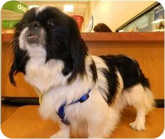 Pekingese/Pekingese Mix Dog for adoption in Umatilla, Florida - Isabelle