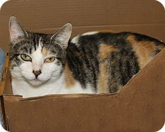Calico Cat for adoption in Rochester, New York - Hope