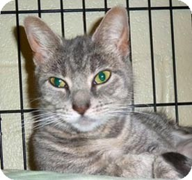 Domestic Shorthair Cat for adoption in Carmel, New York - Brook