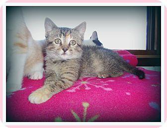 Domestic Shorthair Kitten for adoption in Medford, Wisconsin - MARBLE