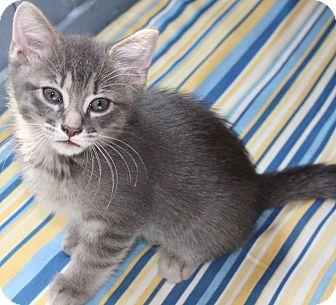 Domestic Shorthair Kitten for adoption in Hendersonville, Tennessee - Hubert