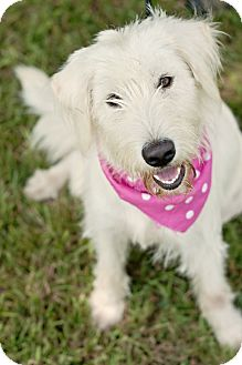 Labradoodle Mix Dog for adoption in Portsmouth, Rhode Island - Dutchess-w/video!