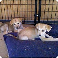 Adopt A Pet :: LAYLA - Gilbert, AZ