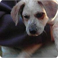 Adopt A Pet :: Tori - New Boston, NH