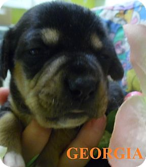 Chihuahua/Jack Russell Terrier Mix Puppy for adoption in Franklin, North Carolina - GEORGIA