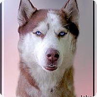 Adopt A Pet :: Jake blue eyes - Sacramento, CA