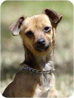Chihuahua/Italian Greyhound Mix Dog for adoption in El Segundo, California - Bella