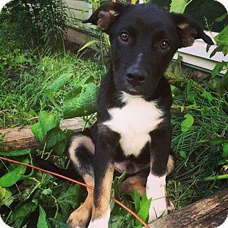German Shepherd Dog/Labrador Retriever Mix Puppy for adoption in Warrenville, Illinois - Easton